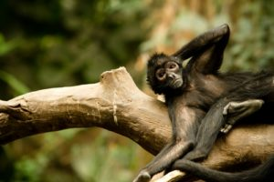 A relaxed monkey lazily slouches on a tree branch in the wild.